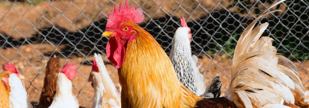 høns og æteriske olier